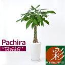 パキラ 観葉植物 シャイニーホワイト ラウンドポット 白陶器入り インテリア 大型 開店祝い アジアン おしゃれ 母の日