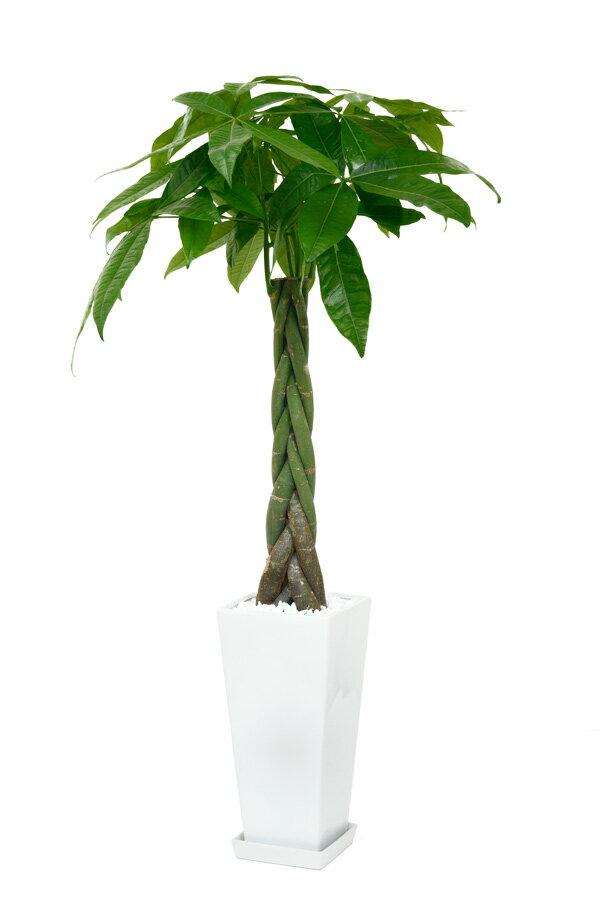 送料無料 パキラ 観葉植物 スクエア鉢 白陶器入り インテリア 大型観葉植物 新築祝い 開店祝い アジアン おしゃれ 父の日