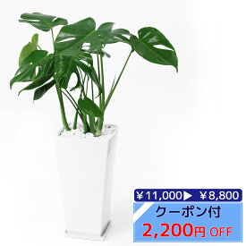◆限定クーポン配布中◆ヒメ モンステラ スクエア白陶器 観葉植物 インテリア 大型 引越し祝い 開店祝い 観葉植物 モンステラ