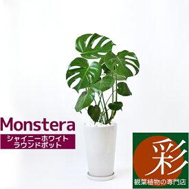 ヒメ モンステラ シャイニーホワイト ラウンドポット 観葉植物 インテリア 大型 引越し祝い 開店祝い 観葉植物 モンステラ 父の日
