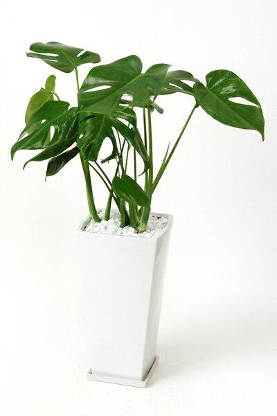 ヒメ モンステラ スクエア白陶器 観葉植物 インテリア 大型 引越し祝い 開店祝い 観葉植物 モンステラ 母の日