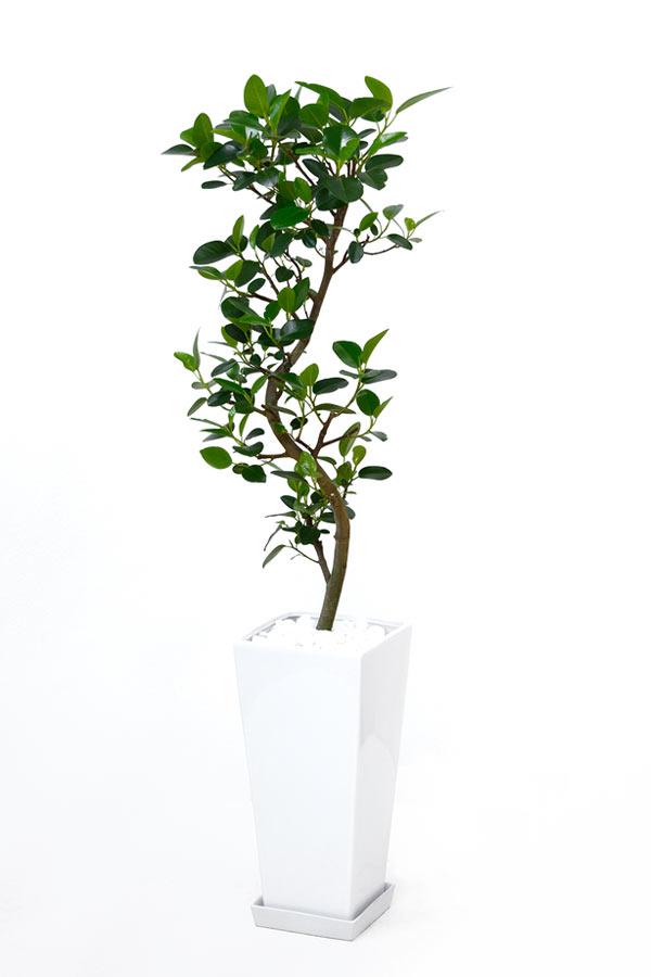 観葉植物 フランスゴム フィカス・ルビギノーサ スクエア白陶器 送料無料 開店祝い お祝い 大型 インテリア アジアン 観葉植物 父の日