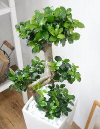 観葉植物ガジュマル(昇り竜)スクエア白陶器送料無料開店祝いお祝い大型インテリアアジアン観葉植物敬老の日