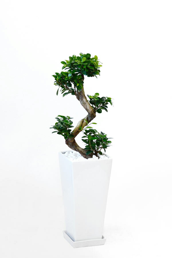 観葉植物 ガジュマル(昇り竜) スクエア白陶器 送料無料 開店祝い お祝い 大型 インテリア アジアン 観葉植物 父の日