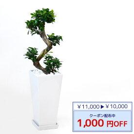 ◆限定クーポン配布中◆観葉植物 ガジュマル(昇り竜) スクエア白陶器 送料無料 開店祝い お祝い 大型 インテリア アジアン 観葉植物