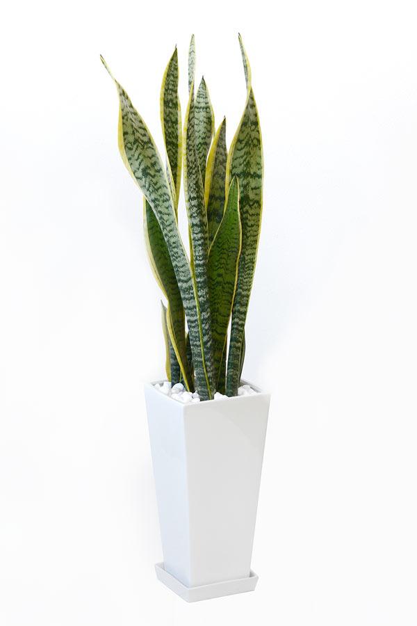 観葉植物 サンスベリア・ローレンティー スクエア白陶器 送料無料 開店祝い お祝い 大型 インテリア アジアン 観葉植物 父の日