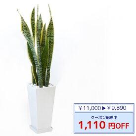 ◆限定クーポン配布中◆観葉植物 サンスベリア・ローレンティー スクエア白陶器 送料無料 開店祝い お祝い 大型 インテリア アジアン 観葉植物
