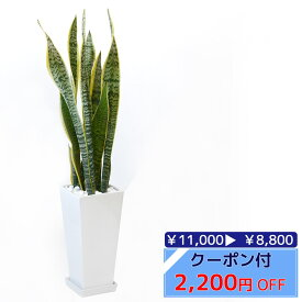◆限定クーポン配布中◆観葉植物 サンスベリア・ローレンティー スクエア白陶器 送料無料 開店祝い お祝い 大型 インテリア アジアン 観葉植物 父の日