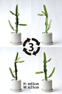 現品観葉植物ユーフォルビア・イエローゴーストラクテアビザールプランツ珍奇植物インテリアおしゃれ開店祝いお祝い新築祝い小さい母の日
