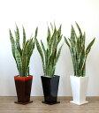 観葉植物 サンスベリア 選べる3色 スクエア陶器 サンセベリア インテリア アジアン おしゃれ 引越し祝い 開店祝い 新築祝い お祝い 観葉植物 大型 敬老の日