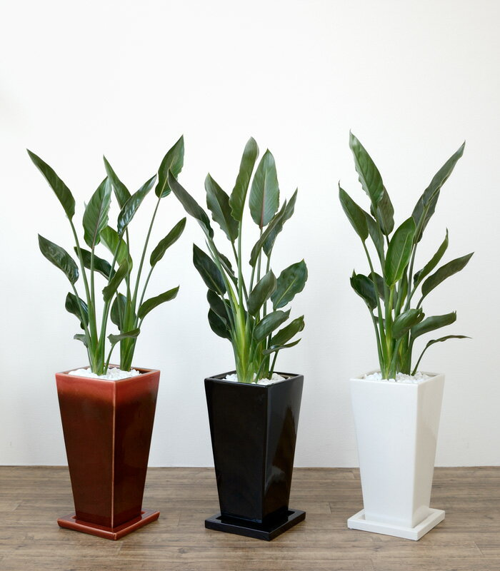 ストレリチア・レギネ 選べる3色スクエア 陶器 観葉植物 インテリア アジアン おしゃれ 引越し祝い 開店祝い 新築祝い お祝い 大型 父の日