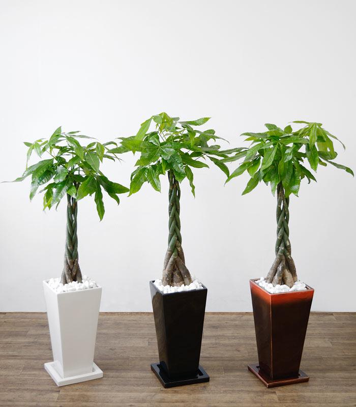観葉植物 パキラ 選べる3色 スクエア陶器 インテリア アジアン おしゃれ 引越し祝い 開店祝い 新築祝い お祝い 観葉植物 大型 父の日