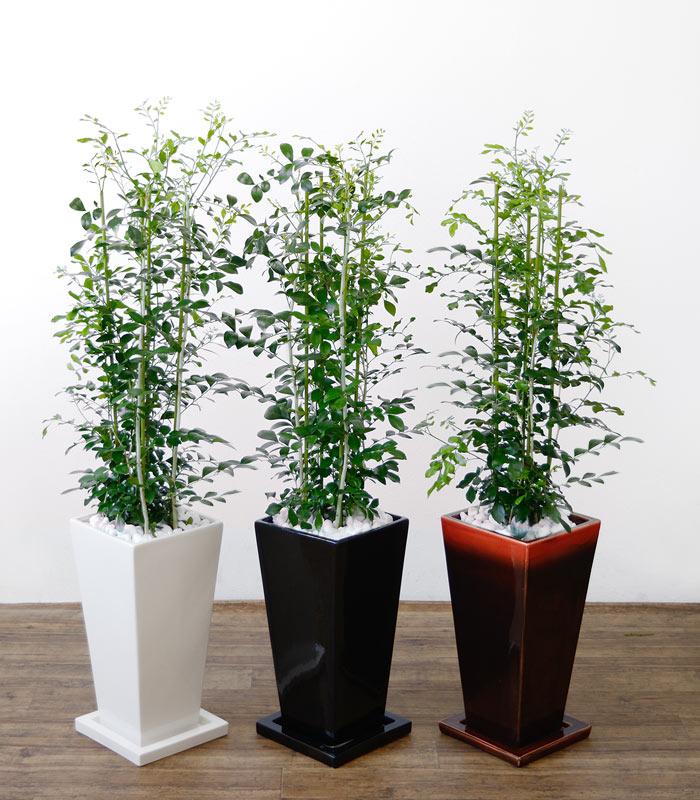 観葉植物 ゲッキツ(シルクジャスミン) 選べる3色 スクエア陶器 インテリア アジアン おしゃれ 引越し祝い 開店祝い 新築祝い お祝い 観葉植物 大型 父の日