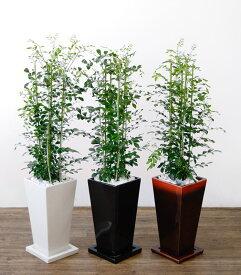 観葉植物 ゲッキツ(シルクジャスミン) 選べる3色 スクエア陶器 インテリア アジアン おしゃれ 引越し祝い 開店祝い 新築祝い お祝い 観葉植物 大型