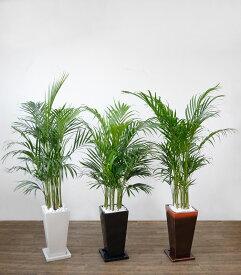 観葉植物 アレカヤシ 選べる3色 スクエア陶器 インテリア アジアン おしゃれ 引越し祝い 開店祝い 新築祝い お祝い 観葉植物 大型