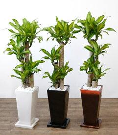 観葉植物 幸福の木(ドラセナ・マッサンゲアナ) 選べる3色 スクエア陶器 インテリア アジアン おしゃれ 引越し祝い 開店祝い 新築祝い お祝い 観葉植物 大型