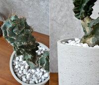 現品観葉植物人気の柱サボテンセレウスペルビアナススピラリスコンクリートポットビザールプランツぺルヴィアナス珍奇植物インテリア開店祝いお祝い新築祝い