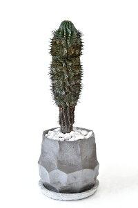 現品 観葉植物 人気の多肉植物 ユーフォルビア・ホリダ・ゼブラ コンクリートポット ビザールプランツ 珍奇植物 インテリア 開店祝い お祝い 新築祝い