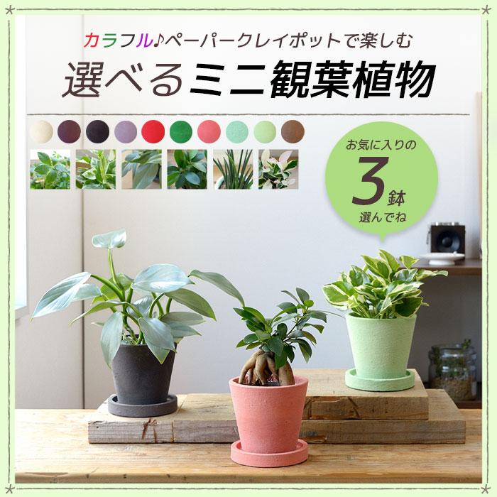 カラフル♪ペーパークレイポットで楽しむ選べるミニ観葉植物 3鉢 ガジュマル シュガーバイン サンスベリア バキュラリス ポトス・エンジョイ ホヤ・カルノーサ・バリエガタ フィロデンドロン・シルバーメタル 父の日