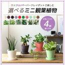 カラフル♪ペーパークレイポットで楽しむ選べるミニ観葉植物2鉢ガジュマルシュガーバインサンスベリアバキュラリスポトス・エンジョイホヤ・カルノーサ・バリエガタフィロデンドロン・シルバーメタル
