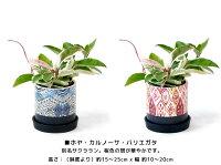 8種類から選べるミニ観葉植物エスニックポットブルーレッド白陶器のボウルポットガジュマルポトスサンスベリアペペロミアソフォラ母の日