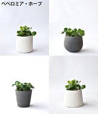選べるミニ観葉植物4デザイン2カラーポットホワイト&グレーガジュマルポトスサンスベリアペペロミアシュガーバイン