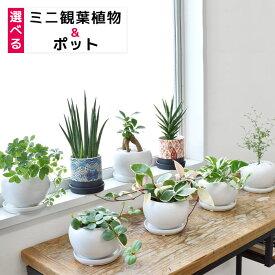 8種類から選べる ミニ 観葉植物 白陶器のボウルポットとロングポット エスニックポット ブルー レッド ガジュマル ポトス サンスベリア ペペロミア ソフォラ