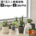 選べる ミニ 観葉植物 4デザイン2カラーポット ホワイト&グレー ガジュマル ポトス サンスベリア ペペロミア シュガーバイン