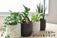 選べるミニ観葉植物2カラーマットポットホワイト&ブラックガジュマルポトスサンスベリアペペロミアシュガーバイン