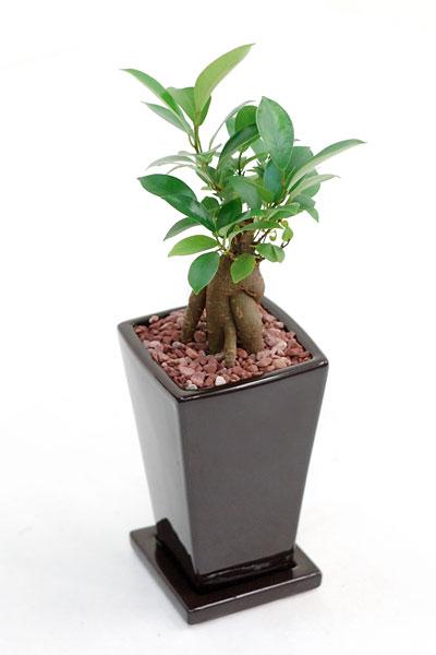 ガジュマル 多くの幸せをもたらすと言われていますこぶのようになった幹がユーモラスなガジュマル(多幸の木) 内祝い ミニ観葉植物 陶器 インテリア 観葉植物 父の日