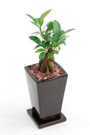 ガジュマル 多くの幸せをもたらすと言われていますこぶのようになった幹がユーモラスなガジュマル(多幸の木) 内祝い ミニ観葉植物 陶器 インテリア 観葉植物