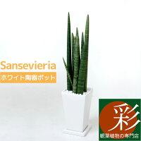 サンセベリア・スタッキー