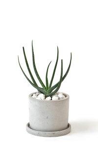 観葉植物 希少 アロエ・アルギロスタキス 多肉植物 インテリア おしゃれ 開店祝い お祝い 新築祝い 小さい 卓上