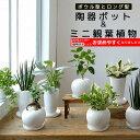 8種類から選べる ミニ 観葉植物 白陶器のボウルポットとロングポット ガジュマル ポトス エバーフレッシュ ソテツ