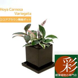 サクラランと呼ばれています♪ひょこっと出てくるピンクの葉っぱがかわいい。ホヤ・カルノーサ・バリエガタ(フイリサクララン)【ミニ観葉植物】【陶器】【アジアン】ハートホヤ 観葉植物 小さい