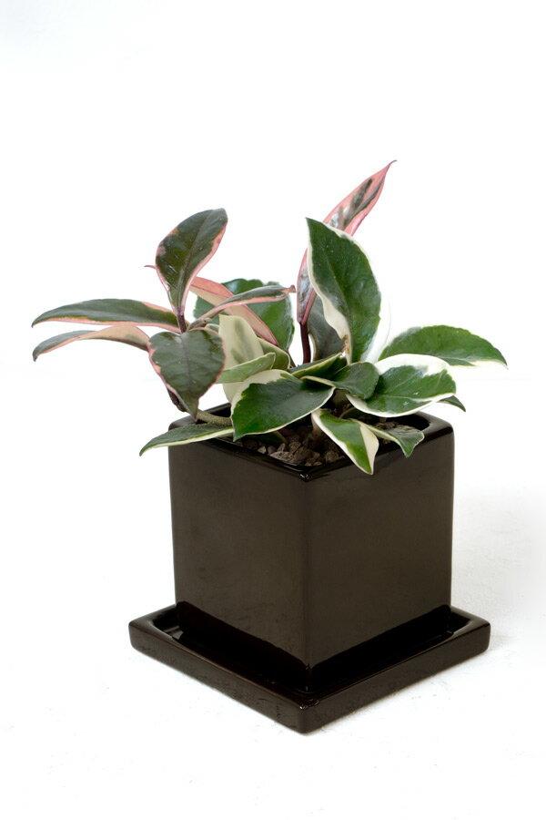 サクラランと呼ばれています♪ひょこっと出てくるピンクの葉っぱがかわいい。ホヤ・カルノーサ・バリエガタ(フイリサクララン)【ミニ観葉植物】【陶器】【アジアン】ハートホヤ 観葉植物 父の日