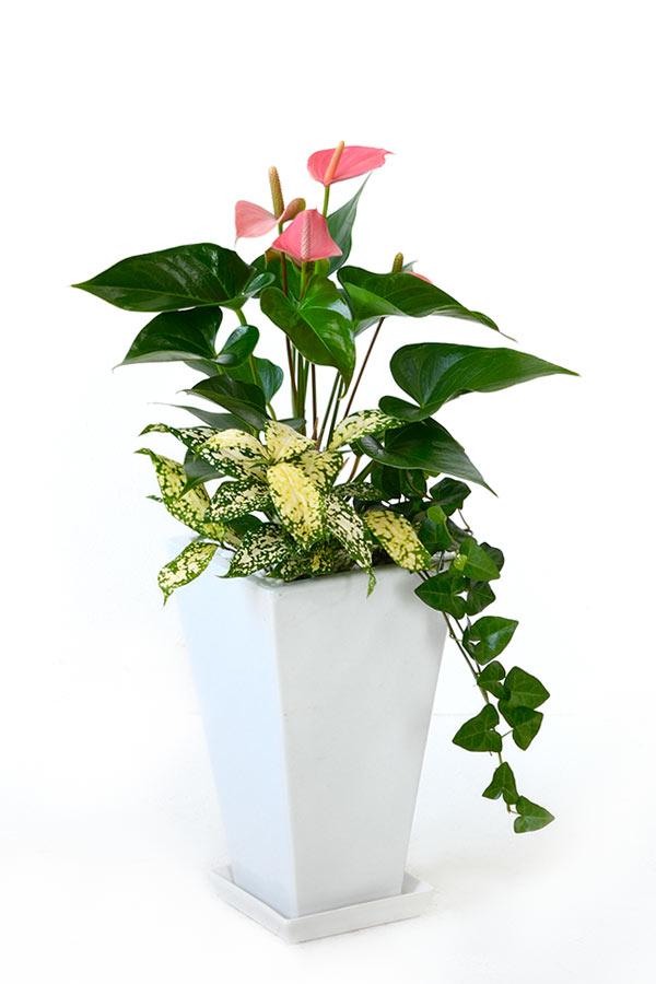 アンスリウム 寄せ植え スクエアポット ピンクチャンピオン アンスリューム 観葉植物 母の日