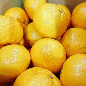 この時期一番人気!あしきた『甘夏』。熊本県。「ビタミンC・クエン酸やビタミンB1」もたっぷり摂れるので、疲れ知らずの甘夏みかんなんです。皮ごとマーマレード・ジャム・ピールにし
