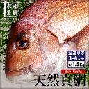 【瀬戸内産】三丁目の天然鯛1.3kg〜1.5kgのビックサイズ(冷蔵便)[メール便:不可]