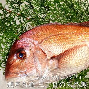 【送料無料】瀬戸内海産 天然鯛 2.5kg 冷蔵便 三丁目横丁 お食い初め 飾り 天然真鯛 焼き鯛 お祝い 料理 グルメ 贈り物 お祝い お取り寄せ
