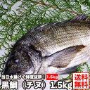 【送料無料】瀬戸内産 黒鯛 約1.5kg(冷蔵便)当日水揚げされた鮮度バツグンの チヌ クロダイ くろだい タイ 鯛 たい …