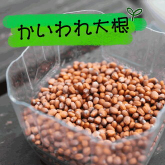 Seeds of radish sprouts sprout ( sprout ) 1 bag