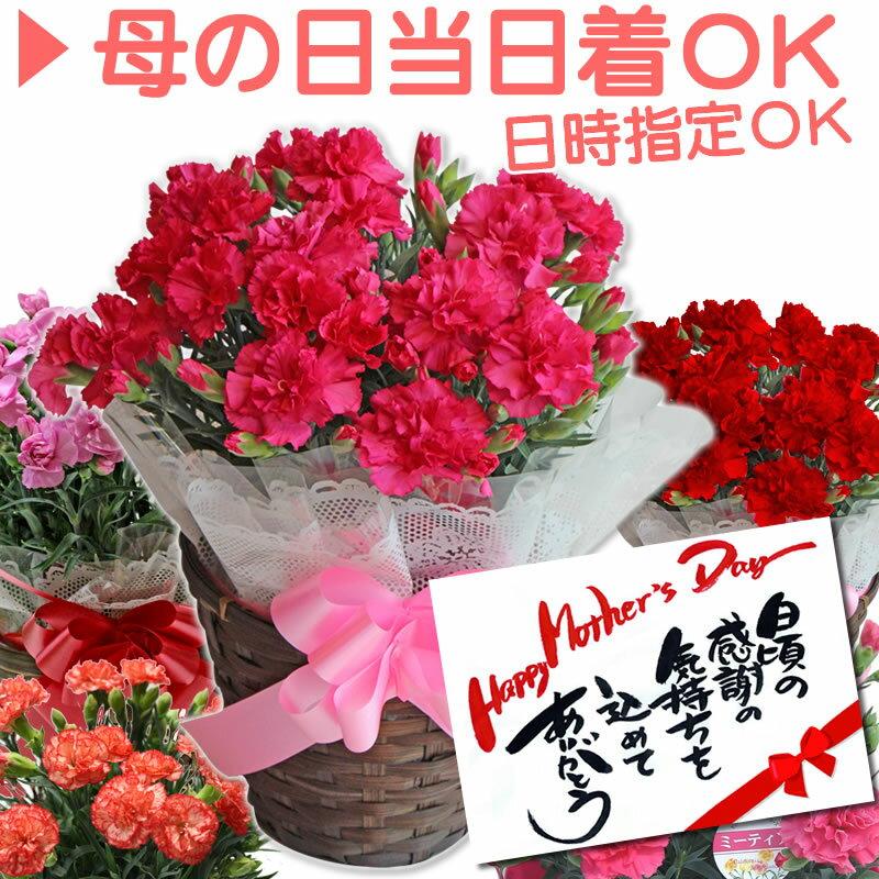 母の日ギフト カーネーション 5号 鉢植え メッセージカード 付 日付指定可 母の日 プレゼント 花 5号鉢 鉢花 Mother's Day / 送料無料