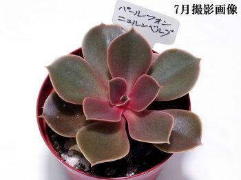 多肉植物【パールフォンニュルンベルグ】