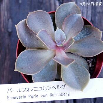 多肉植物【パールフォンニュルンベルグ】【インテリアミニグリーン観葉】(多ファンクイーン肉植物販売)10P03Sep16