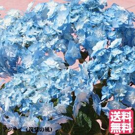 遅れてごめんね 母の日 アジサイ 筑紫の風 鉢花(福岡県生産者のみ作ることができるアジサイ)【母の日】長く楽しめるアジサイ♪【ランキング入賞】紫陽花 お母さんに素敵な プレゼント 珍しい花 鉢植え 花鉢 母の日 【送料無料】