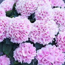 遅れてごめんね 母の日 アジサイ【コットンキャンディ】希少品種 ほのかなピンク色の美しい花 あじさい 鉢植え 新 品種 珍しい 紫陽花 ギフト お母さんに素敵な プレゼント 両親 花 生花 花持ち長持ち【カーネーションより人気】 【送料無料】
