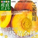 山形県 東根地区から産地直送「厳選農家の無袋黄金桃」 ご家庭用 5キロ 13玉から20玉