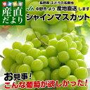 送料無料 長野県より産地直送 長野県JA中野市 シャインマスカット 約2キロ (3から4房) ぶどう ブドウ