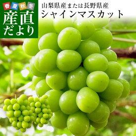山梨県または長野県産 シャインマスカット 1.2キロ (2房から3房入り) 送料無料 ぶどう 葡萄 遅れてごめんね敬老の日